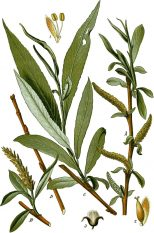 salgueiro salix_alba_as_s-_vitellina_thome_1904_2nd_ed-_vol_2_plate_159_cropped_clean_no_caption