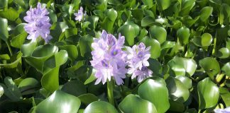 Eichhornia-crassipes-