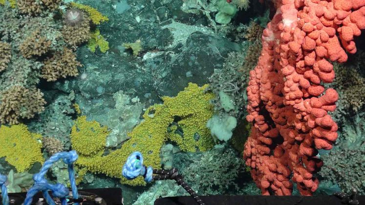 Bubblegum,-stoney,-soft-corals-and-sponges-photographed-by-a-remotely-op..